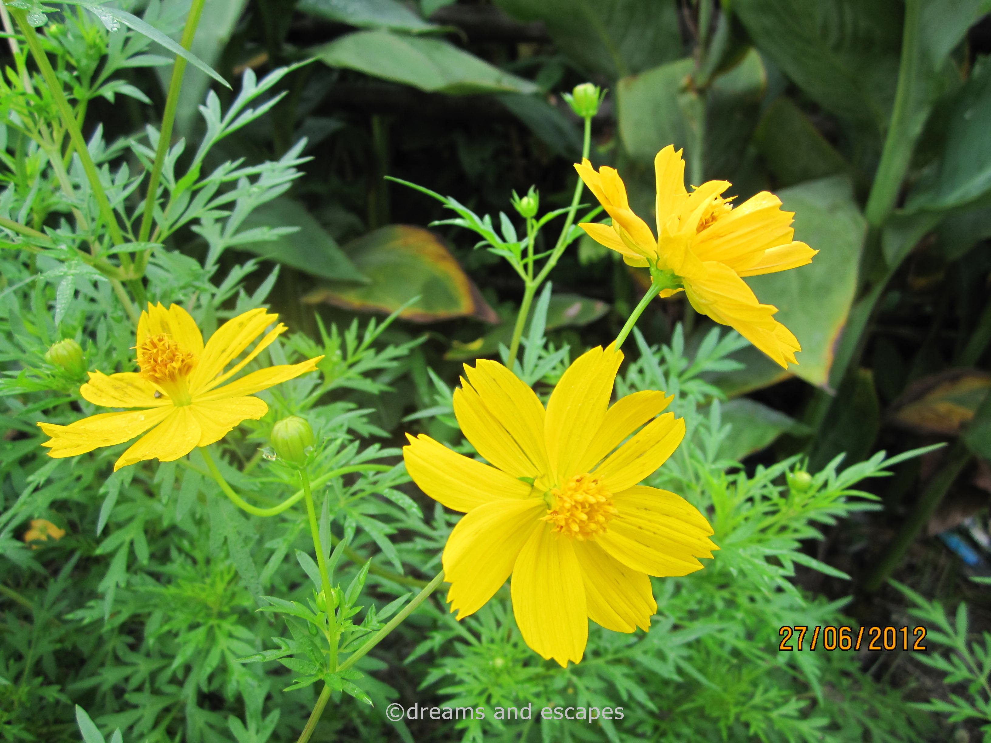 Photos Of Nature Photos Of Yellow Annual Flowers