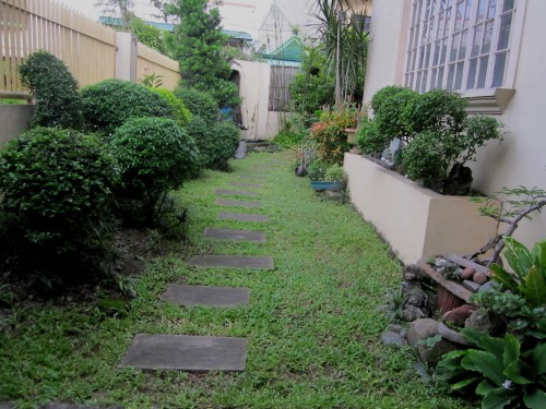 Our front garden is all green now except for a few blooms of my Shanghai Beauty plant.