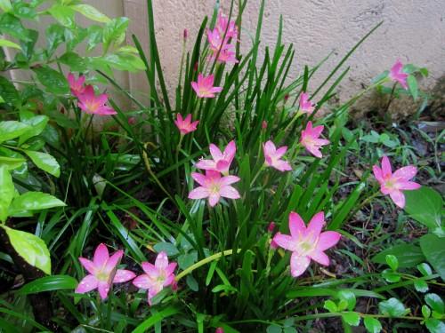 Rain lilies in bloom...