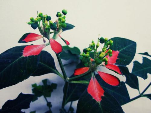 It's called Mexican Firereplant or  Wild Poinsettia