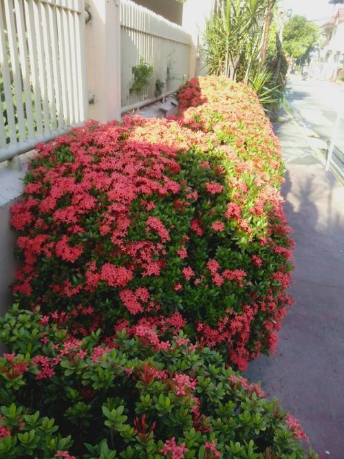 My Santan blooms in front of the house.