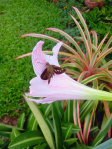 pink-striped lily