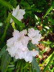 Ruellia in white